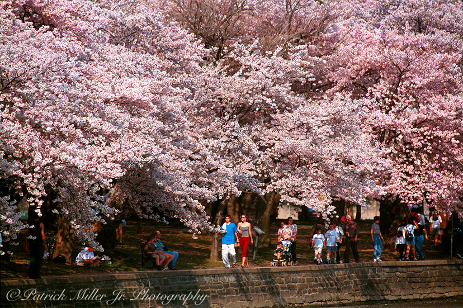 National Cherry Blossoms Festival tidal basin pathway Washington, DC