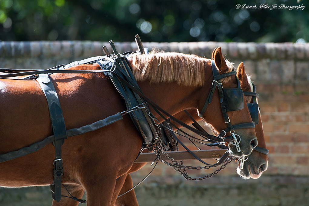Harnessed Horses pulling a carriage in historic Williamsburg, VA