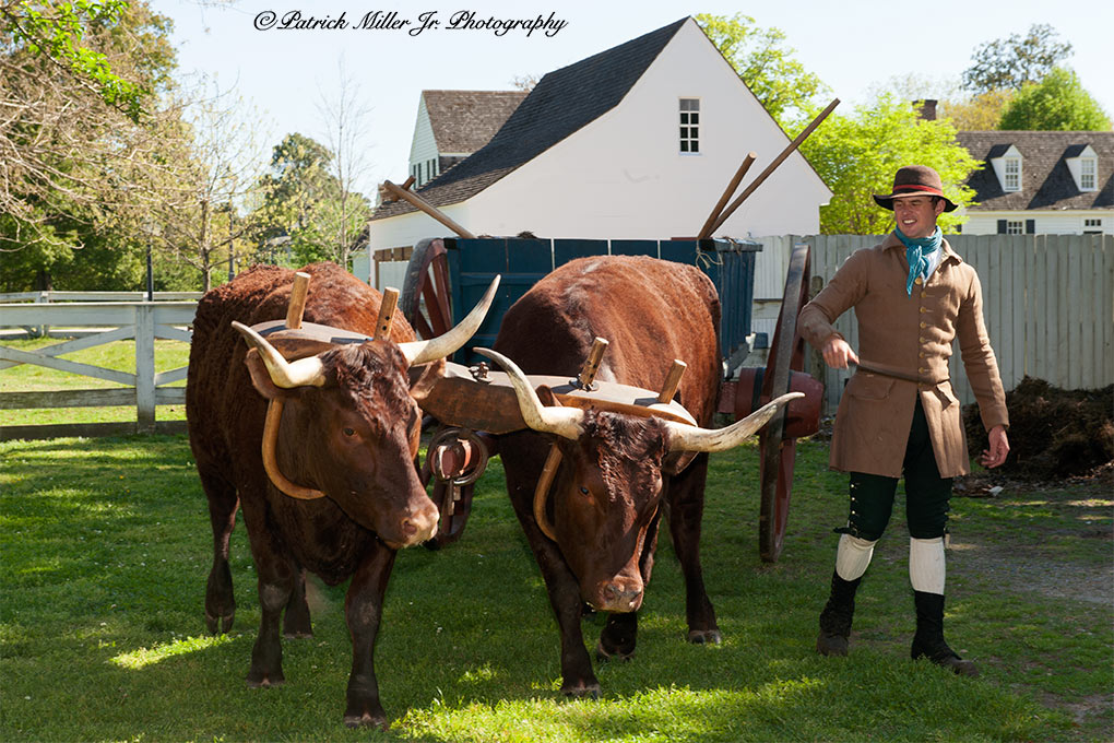 Reenactment of farmer working with Red Devons Cows in Colonial Williamsburg