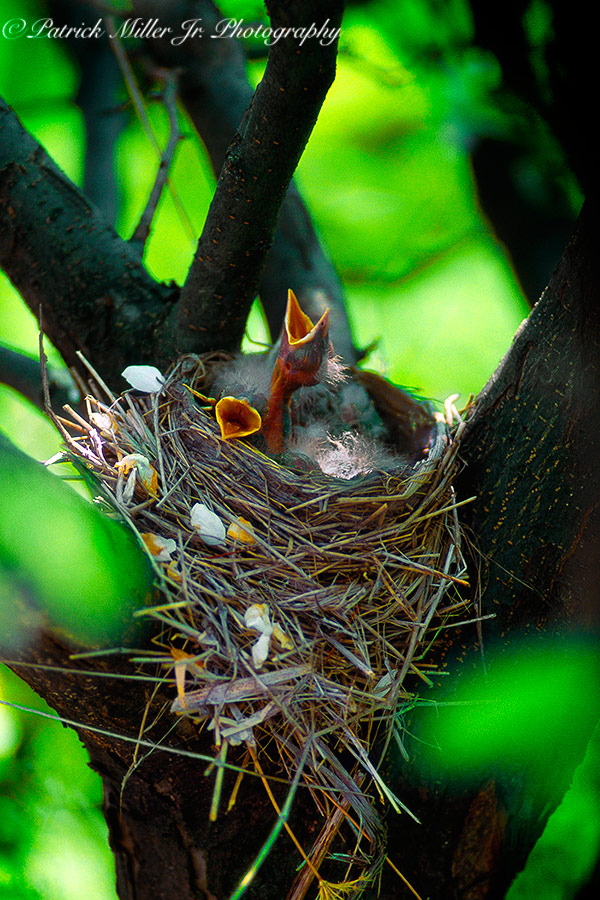 Baby robins nesting In a tree
