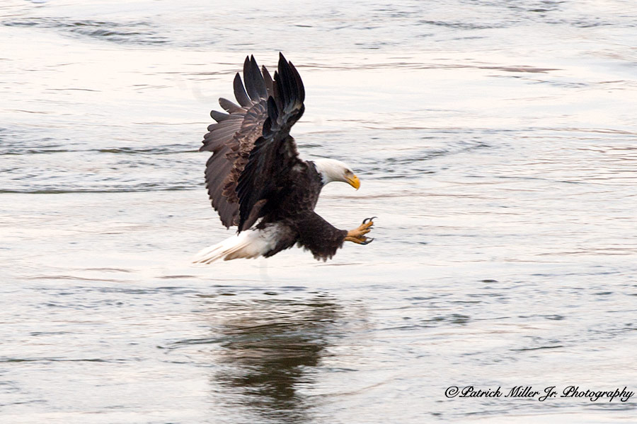 American Bold Eagle fishing with claws out in Maryland