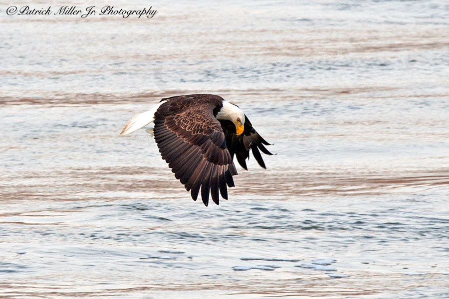 American Bold Eagle fishing In Maryland