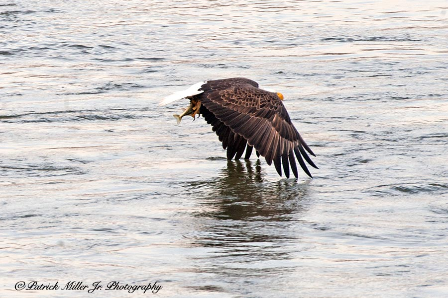 American Bold Eagle catching a fish mid December, Maryland