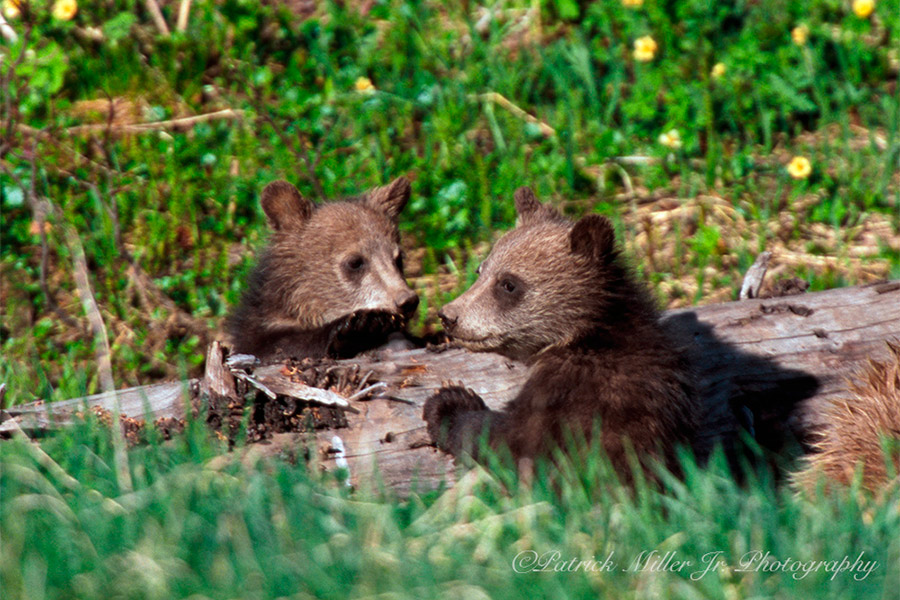 Grizzly cubs playing on a log in Grand Tetons National Park
