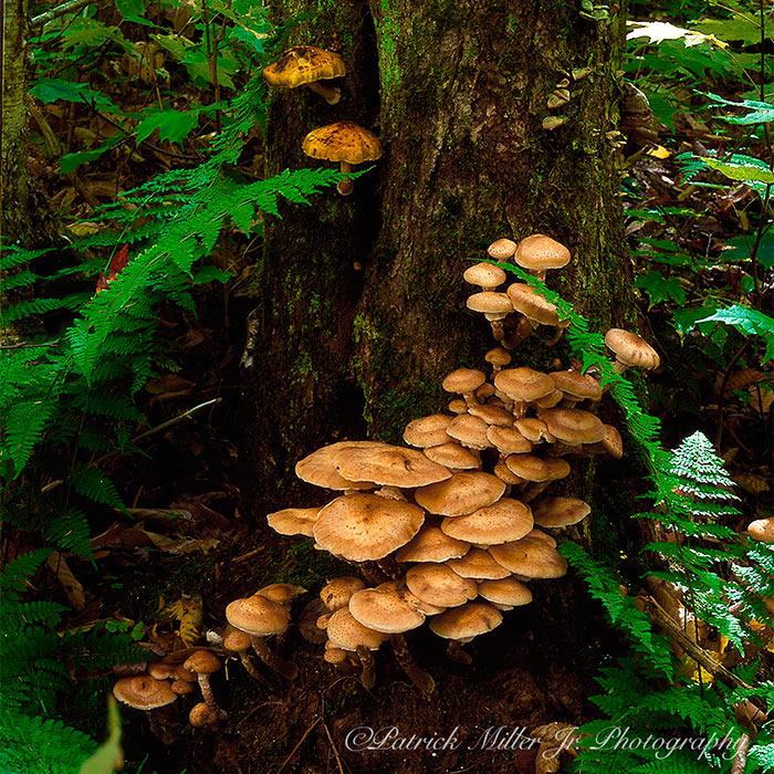 Jack O'Lantern Forest Mushrooms Baxter State Park, ME