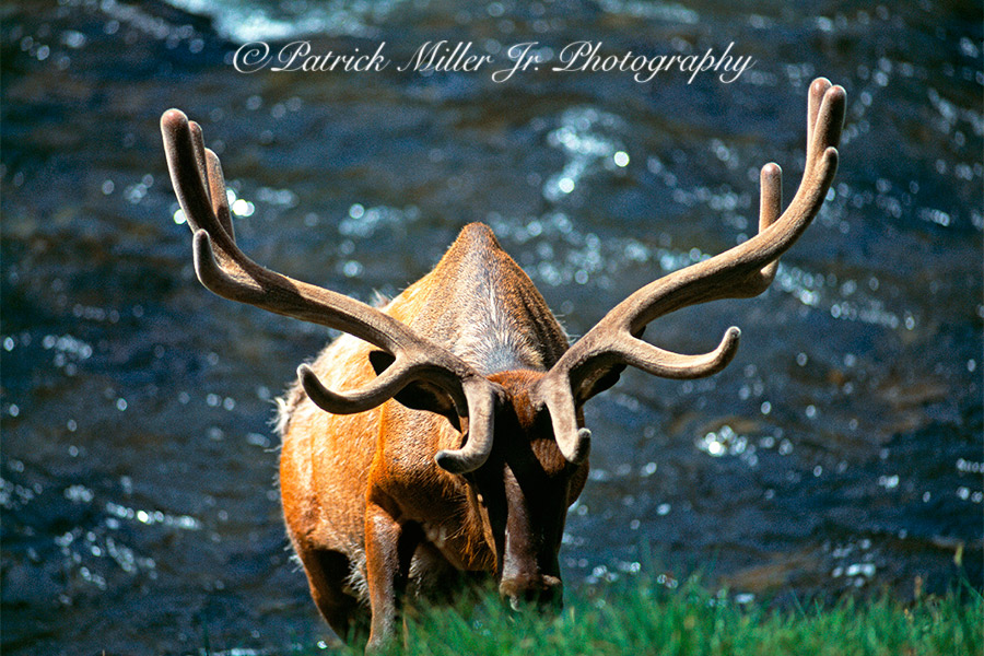 Male Elk with large antlers on the bank of the Yellowstone River in Yellowstone National Park