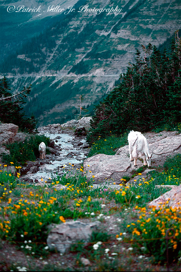 Mountain goat and her young calf grazing along a glacier stream and wild flowers in Glacier National Park.