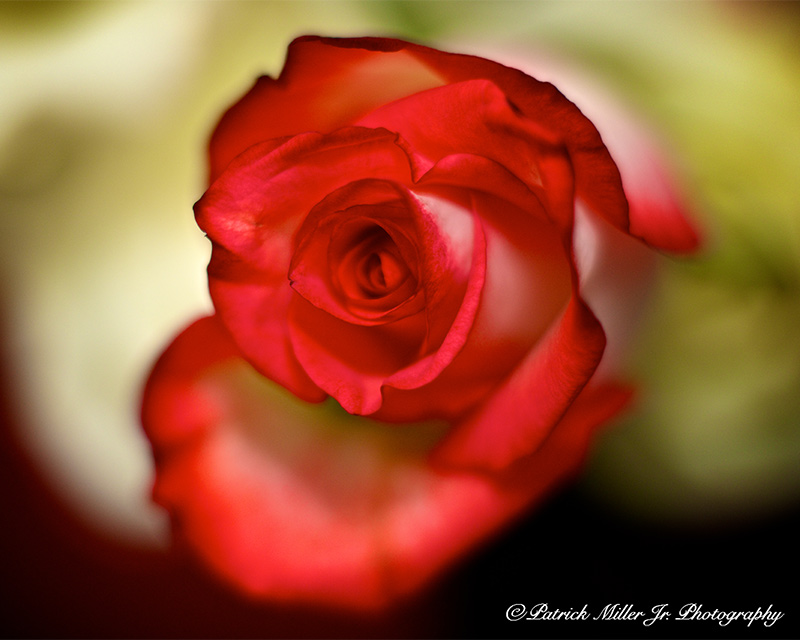 Product Photography Red Rose Colorado