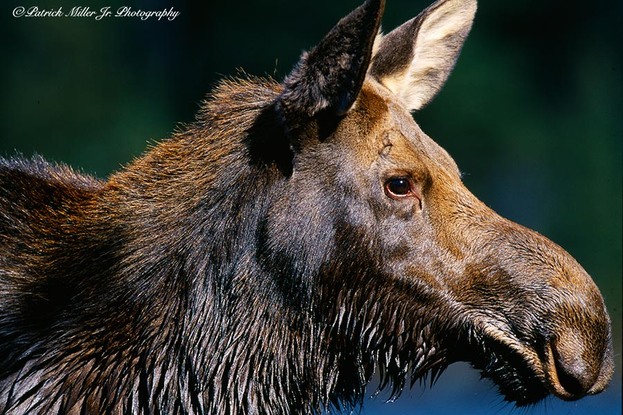 Close up of a wet moose after swimming in a Maine pond