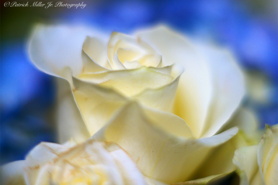 Product Photography White Rose Colorado