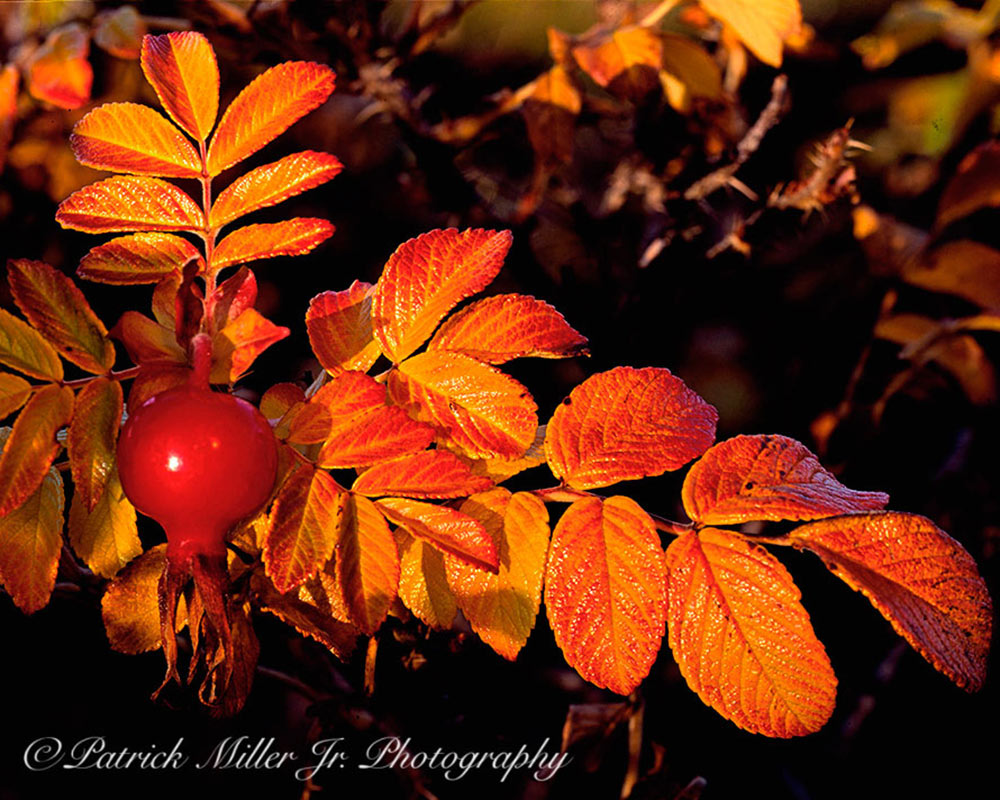 Autumn Rosehips Maine