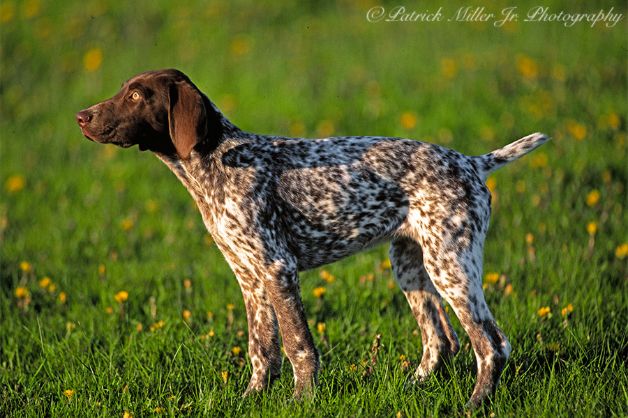 German Shorthair Pointers are beautiful hunting dogs capable of hunting anywhere, burns and desert scrub grass doesn't attach to the fir, appreciated in the Western part of the US