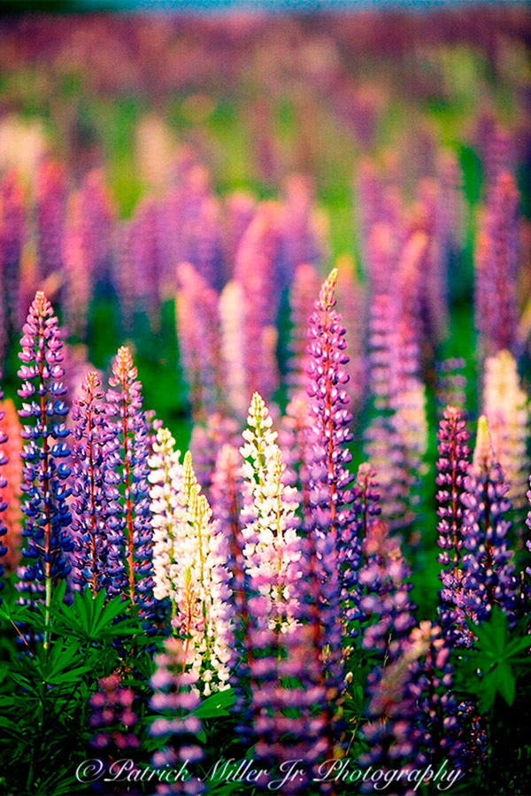 Lupine wildflowers in full bloom on a Maine Island