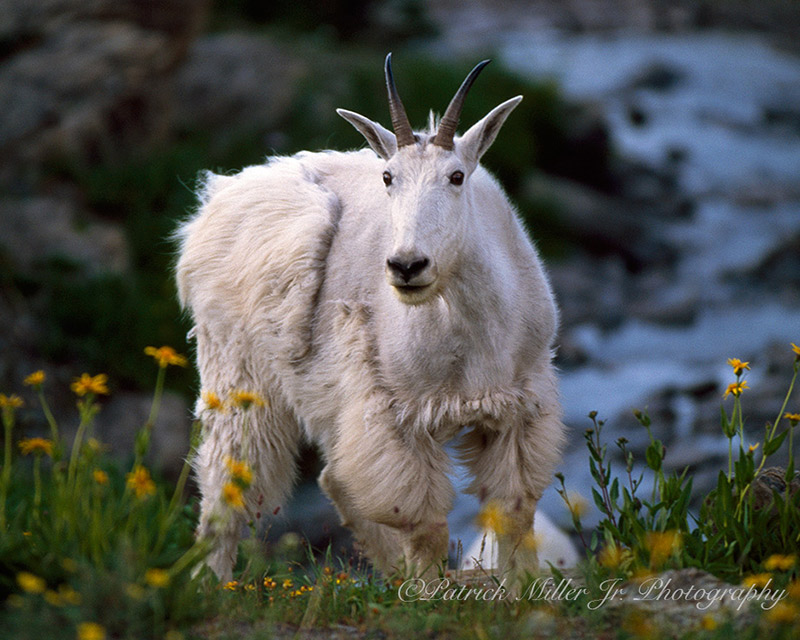 Mountain Goat with shedding fir in Glacier National Park, Washington