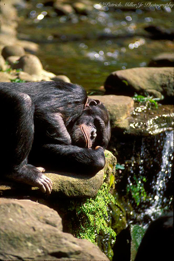 Monkey relaxing along a small waterfalls, Australia