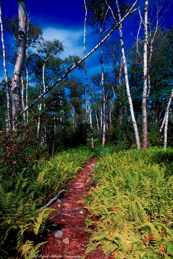 Trailhead to a Paper Birch forest and ferns Vinalhaven Island Maine