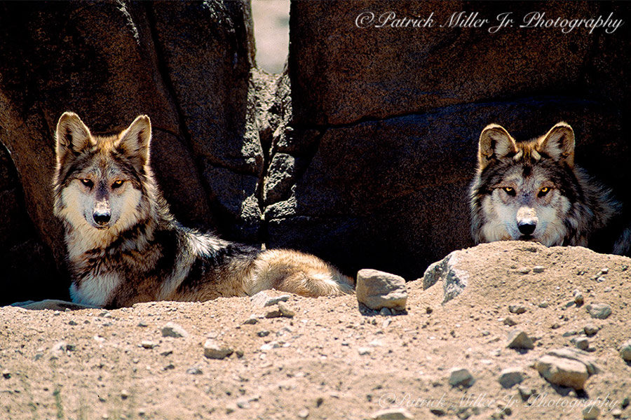 Wolves resting in their den during the midday heat in California