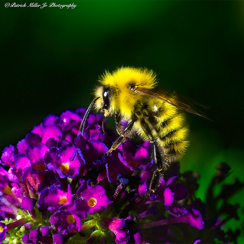 Macro image of a Bumble Bee on a purple flower, VA