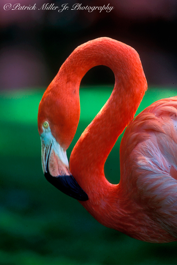 Flamingo curled up in the San Diago Zoo, California