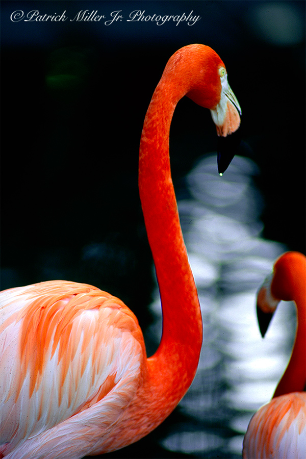 Flamingo with water drip at the San Diago Zoo, California